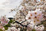 新しい記事: 桜の絶景!高遠城址公園の満開桜